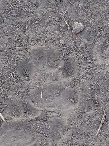 Hyena Track Clear Print ID