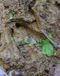 Fallow Deer Track