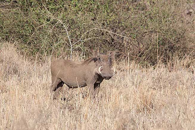 Warthog, Serengeti National Park