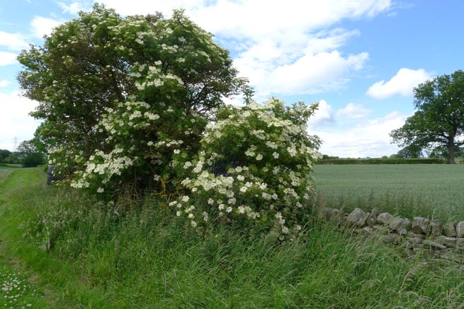 Sambucus nigra, elderflower, in bloom