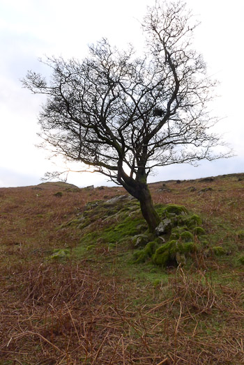 Lone Hawthorn, Crataegus monogyna, in Cumbria