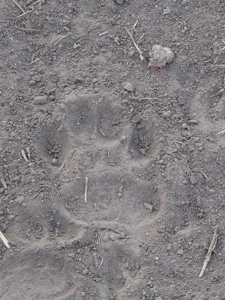 Hyena track.