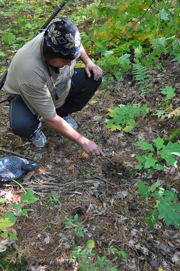 Examining bear scat