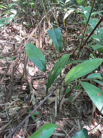 Khing Pa plant
