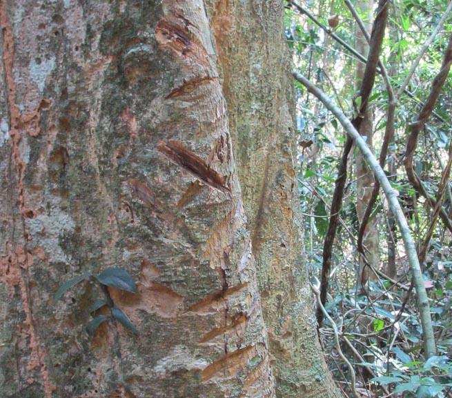 Tonh Nong tree