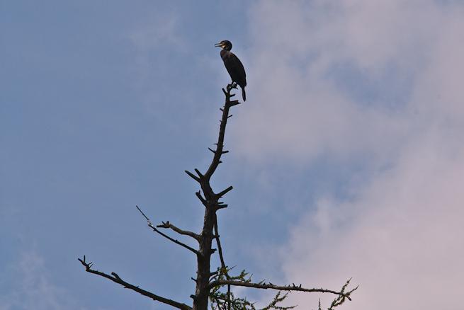 Cormorant on top of tree
